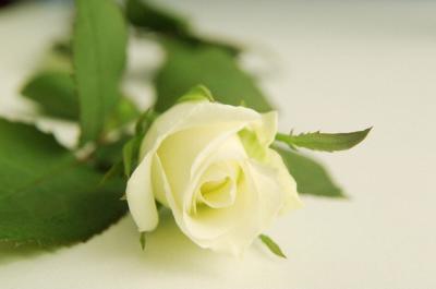 weisse_rose.jpg